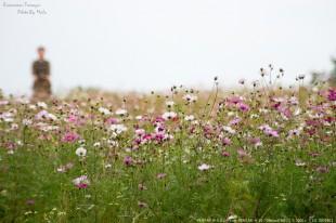 花の丘のコスモス(2013)
